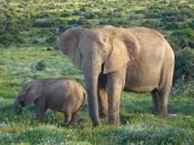 犹他大学亨茨曼癌症研究所:大象极少患癌 抗癌基因副本多达40个