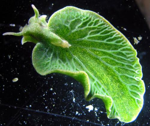 """南佛罗里达州大学和马里兰大学基因治疗启示:海参吃海藻""""窃取""""叶绿体进行光合作用"""