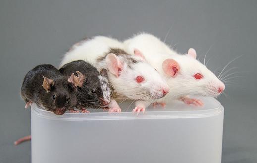 嵌合体的神话:科学家试图动物体内培育人体器官