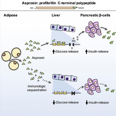 贝勒医学院:新荷尔蒙Asponsin可抵抗糖尿病和肥胖症