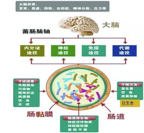 """""""肠-脑轴"""":肠道微生物群与脑中枢神经系统间的双向联系"""