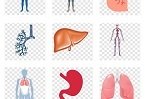 """剑桥大学科学家团队:人类胎盘""""类器官""""可长期稳定培养"""