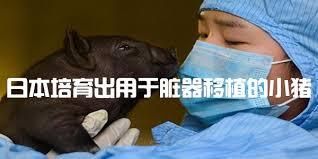 """日本明治大学等培育出用于脏器""""异种移植""""的小猪"""