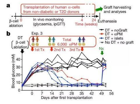 瑞士日内瓦大学:重编码人类α和γ胰岛细胞,使之产生胰岛素