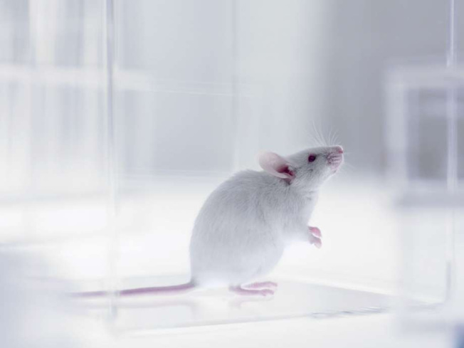 柏克�R加大的科�W家用突破性的基因��法�失明的小鼠重�光明